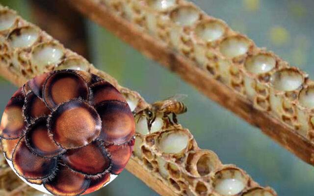 Sữa ong chúa và nhung hươu dùng chung như thế nào